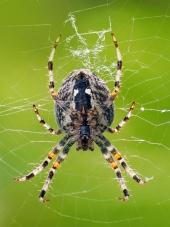 Pohľad z blízka na malého pavúka ako tká svoju sieť