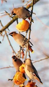 Vtáky jedia jablká
