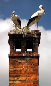 Dva bociany biele na komíne z blízka