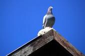 Holub sedí na streche