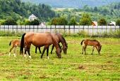 Kone sa pasú na poli s domami v pozadí