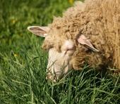 Ovečka prežúva trávu