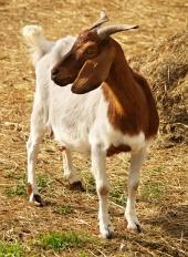 Portrét horskej kozy
