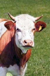 Portrét kravičky na lúke