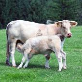 Teliatko sa kŕmi od kravičky