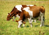 Dve kravy na zelenej lúke