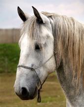 Portrét profilu bieleho žrebca