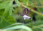 Pavúk na pavučine