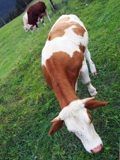 Kravy pasúce sa na poli