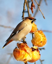 Hladný vták sa hostí na jablkách
