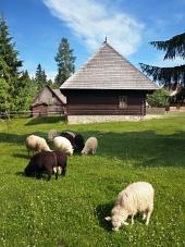 Ovce v blízkosti drevenice v Pribyline
