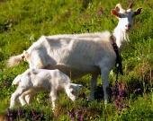 Koza a kozľa na lúke