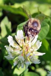Včela opeľuje kvet