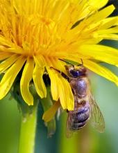 Včela na žltom kvete
