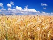 Zlatisté klásky pšenice