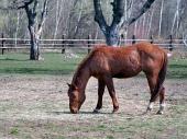 Hnedé kone pasúce sa na poli