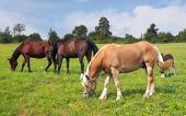 Hnedáci a jeden béžový kôň sa pasú na lúke