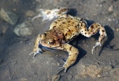 Detailný záber na žabu vo vode