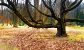 Prastarý masívny strom v parku