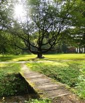 Slnko schované za korunou prastarého stromu
