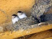 Dve lastovičky v hniezde