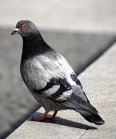 Sivý holub sedí na obrubníku