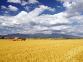 Úroda pšenice na Slovensku