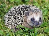 Malý ježko s pichliačmi