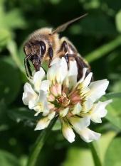 Európska včela opeľuje kvet ďateliny