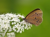 Motýľ (Coenonympha) na bielom kvete