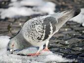 Holub sa snaží nájsť potravu v snehu