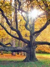 Slnko presvitá cez obrovský strom počas jesene