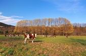 Kravy na poli počas jesene