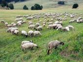 Ovce sa pasú na slovenskej lúke