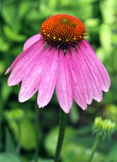 Echinacea purpurová na zelenom pozadí