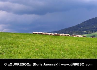 Stádo oviec na lúke pred búrkou