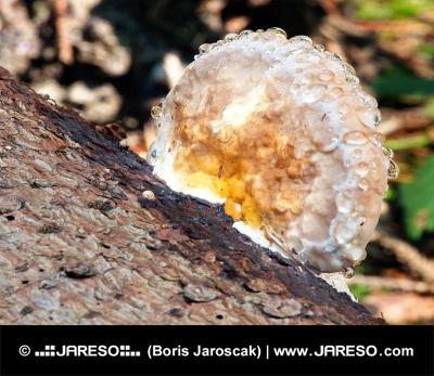 Drevokazná huba pokrytá ranou rosou