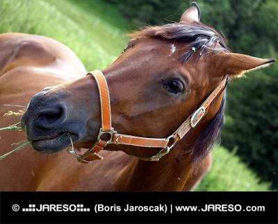 Koník s postrojom žerie trávu