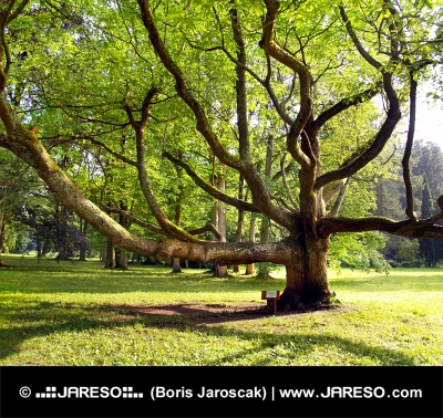 Veľmi starý strom