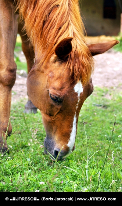 Koník žerie trávu