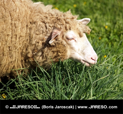 Ovca na zelenej lúke