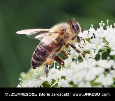 Včela medonosná z blízka