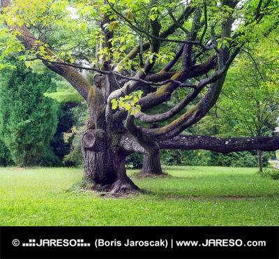 Pokrútený starý strom v parku