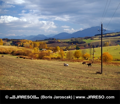 Kravy sa pasú v blízkosti obce Bobrovník, Slovensko