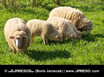 Rodinka ovečiek na lúke
