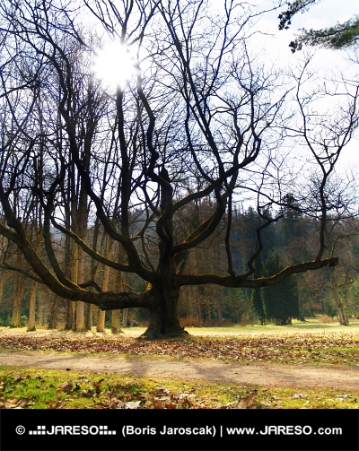 Masívny strom a lúče slnka