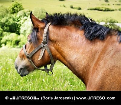 Portrét koňa s postrojom