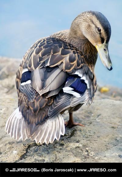 Kačica divá (Anas platyrhynchos)