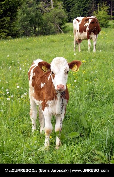 Krava a teliatko