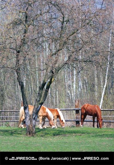 Kone sa pasú pod stromom na ranči
